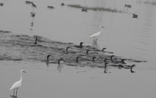 Lesser Egret / Darter / Stilts / Northen Pintails, Chennai
