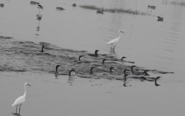 Lesser Egret / Darter / Stilts / Northen Pintails, Chennai