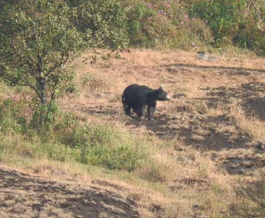 Indian Sloth Bear, Meghamalai