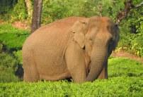 Indian Elephant, Meghamalai