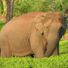 Indian Elephant, Meghamalai