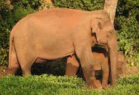 Indian Elephants, Meghamalai