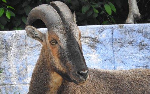 Nilgiri Tahr, Valparai