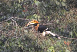 Great Indian Hornbill, Valparai