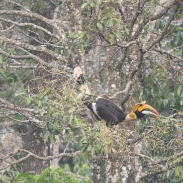 Great Indian Hornbill, Valparai
