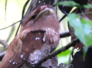 Sri Lankan Frogmouth, Thattekad