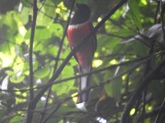 Malabar Trogon (Male), Thattekad