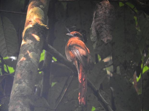 Malabar  Trogon (female), Thattekad