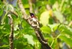 Crimson-Backed Sunbird, Thattekad