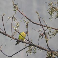 Plum-Headed Parakeet (Female), Thattekad
