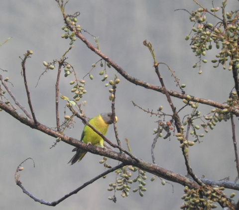 Plum-Headed Parakeet (Female), Thattekad
