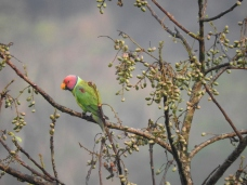 Plum-Headed Parakeet (Male), Thattekad