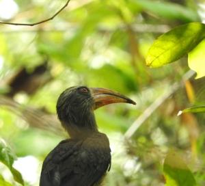 Malabar Grey Hornbill, Thattekad