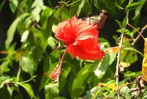 Loten's Sunbird, Kerala