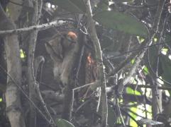 Peninsular Bay Owl, Kerala
