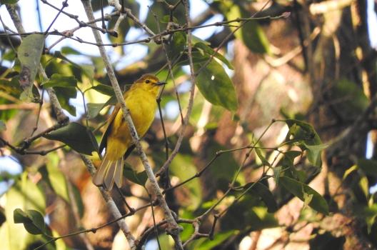 Yellow Browed Bulbul, Kodaikanal
