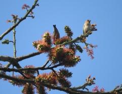 Rosefinches, Kodaikanal
