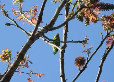 Vernal Hanging Parakeet, Kodaikanal