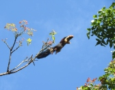 Malabar Giant Squirrel, Kodaikanal