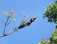 Malabar Giant Squirrel, Kodaikanal