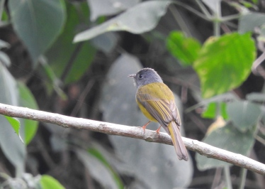 Canary-Headed Flycatcher, Kodaikanal