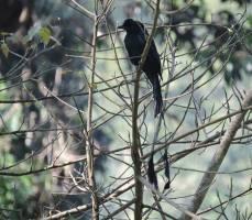 Racket-Tailed Drongo, Kerala
