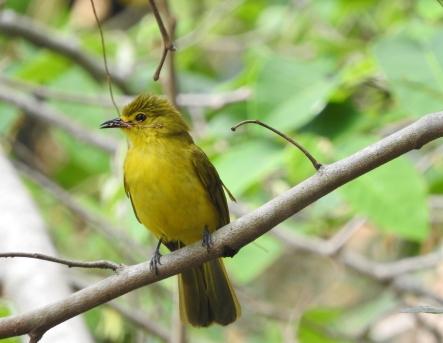 Yellow-Browed Bulbul,Palani