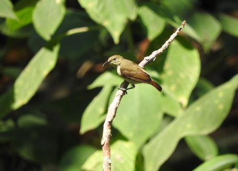 Crimson-Backed Sunbird, Palani