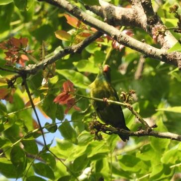 Vernal Hanging Parakeet, Palani
