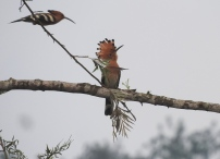 Common Hoopoes, Anaimalai Hills