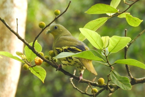Pompadour Green Pigeon, Anaimalai Hills