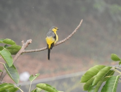 Scarlet Minivet - female, Anaimalai Hills