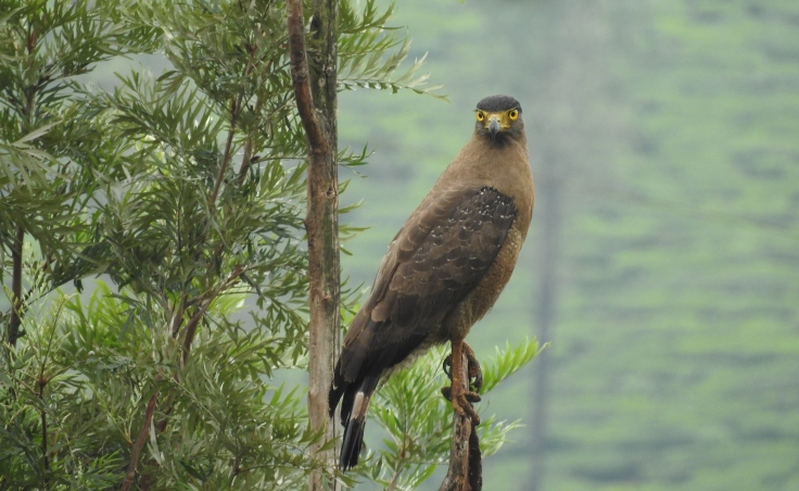 Crested Serpent Eagle, Valparai