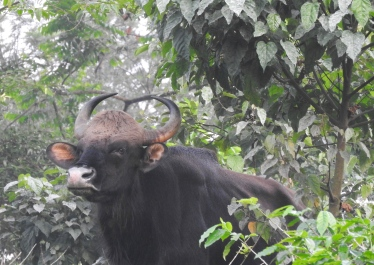 Indian Gaur, Anaimalai Hills