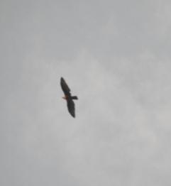 Red-Headed Vulture, Kodaikanal
