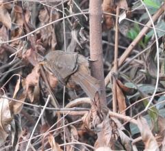 Rufous Babbler, Palani