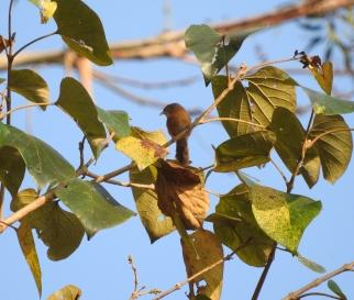 Tawny-Bellied Babbler, Palani Hills