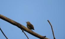 Nilgiri Flowerpecker, Palani