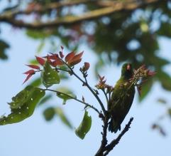 Vernal Hanging Parakeet, Palani Hills