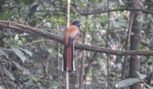 Malabar Trogon (male), Anaimalai Hills