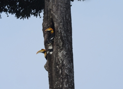 Great Indian Hornbills