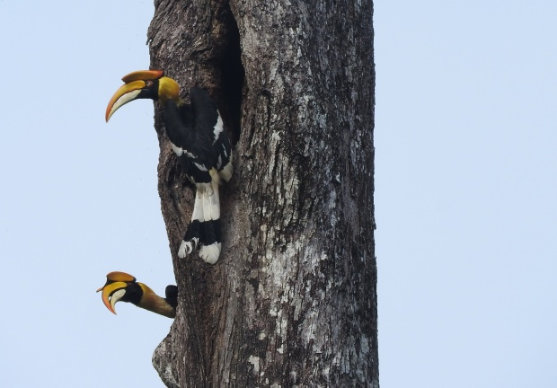 Great Indian Hornbills, Anaimalai Hills