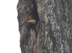 Great Indian Hornbill (juvenile), Anaimalai Hills
