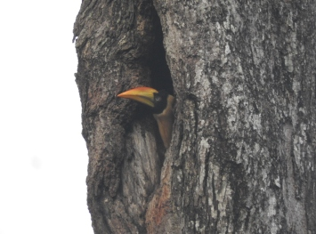 Great Indian Hornbill (juvenile), Anaimalai Hills