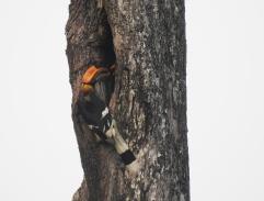 Great Indian Hornbills, Anaimalai Hills