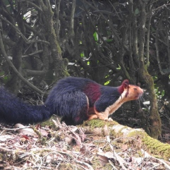 Malabar Giant Squirrel, Anaimalai Hills