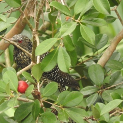 Asian Koel - female, Anaimalai Hills