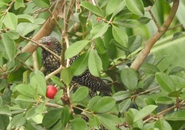 Asian Koel - female, Anaimalai Hills