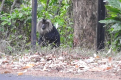Lion-Tailed Macaque, Anaimalai Hills