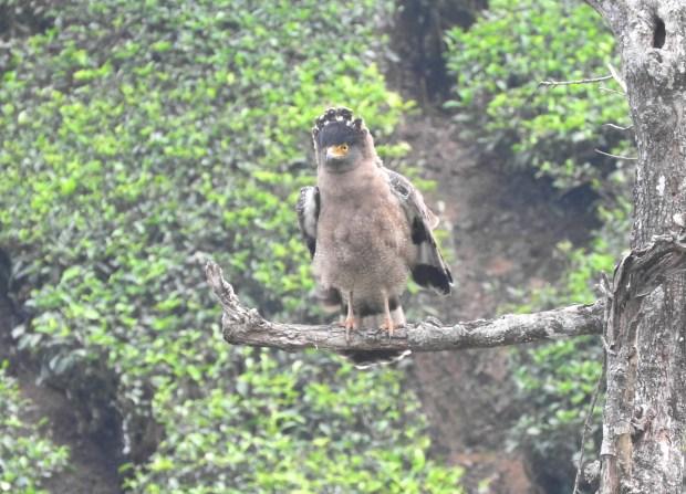 Crested Serpent Eagle, Valparai